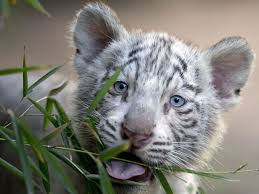 baby white tigers wallpaper. Contemporary Wallpaper Baby  And White Tigers Wallpaper T