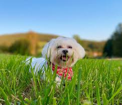 Mex Maltese Dog wallpaper by ...