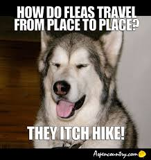Easygoing Dog Meme: Q. How do fleas travel from place to place? A ... via Relatably.com