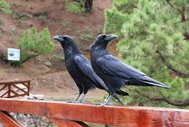 Crow Vending Machine Plans Delectable This French Theme Park Trained Crows To Help Clean Up Litter