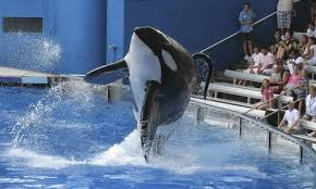 SeaWorld to build new, larger killer whale environments | The ...