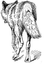 Small Picture Free Coyote Coloring Page