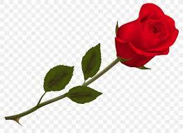 rose wallpaper png 6889x5043px rose