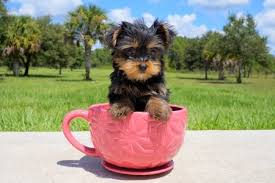 micro teacup yorkie puppies for sale.  For Micro Teacup Yorkie Puppies For Sale With Sale M