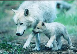wolf puppies wallpaper. Modren Wallpaper Artic Wolf And Pup  Grass Wolf Pup White Wolves Puppies Artic With Puppies Wallpaper S