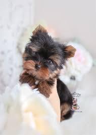 yorkshire terrier 324