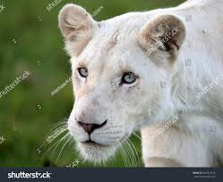 white lioness with blue eyes. Exellent Lioness A White Lioness Looking Intensely With Her Blue Eyes In This Beautiful  Close Up Photo Of Throughout White Lioness With Blue Eyes S