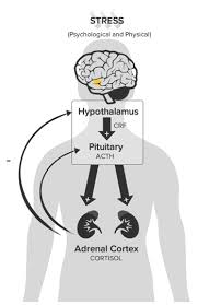 Hpa Axis Hpa Axis Stress Response Hypothalamic Pituitary Adrenal Axis