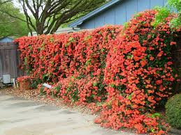 Image result for trumpet vines