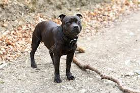 Male Staffordshire Bull Terrier Looking ...
