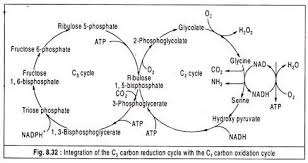 essay on the path of carbon in photosynthesis integration of the c2 carbon reduction cycle the c2 carbon oxidation cycle