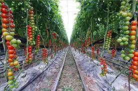 best garden vegetables. Backyard Vegetable Garden Tomato Best Vegetables D