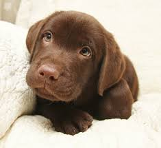 chocolate lab puppies. Perfect Puppies Chocolate Labrador Retriever Puppies For Sale On Lab I