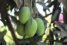List of mango cultivars - Wikiwand