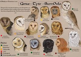 Tyto Species Chart By Busbyart Owl Species Owl Pictures