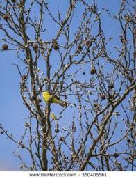 sunny day scene of beautiful small yellow bird at the top of a tree surrounded by blue sky backgroundblue