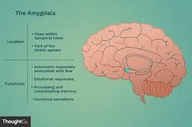 Amygdalas Location And Function