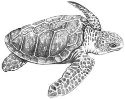 Small Picture Loggerhead sea turtle Sea Turtles Pinterest Sea turtles