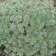 artemisia. artemisia silver mound, schmidtiana, wormwood or dusty miller