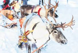 Slaying Myths Reindeer Never Laughed Or Called Poor Rudolph Names