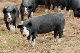Pork Production Perspective: What's New (and What Isn't) - Storey Publishing