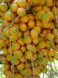 Pindo Palm Wine Palm Jelly Palm Butia Capitata « Edible Plant Palm Tree Orange Fruit