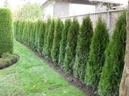 cedar hedge fence. Privacy ...