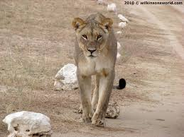 lioness roar front view. Interesting Lioness Lioness On The Road To Nossob Throughout Roar Front View O