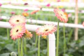 you can t have too many greenhouses in carpinteria the area dubbed california s flower basket is known for supplying half the state s cut flowers