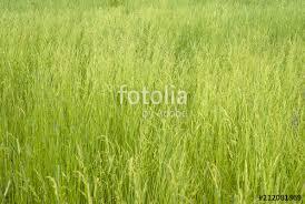 wild grass texture. Grassy Background, Texture - Summer Meadow, Green Wild Grass With Spikelets