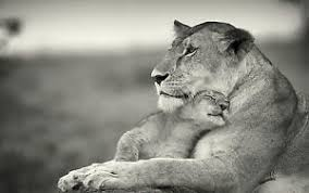 lioness black and white. Interesting Lioness Image Is Loading FramedPrintBlackampWhiteLionesswithHer To Lioness Black And White E