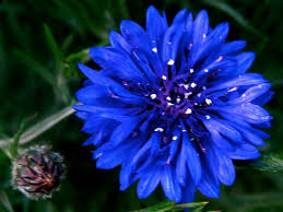 name of indian flowers with pictures loopele flower image