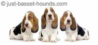 3 cute bet hound puppies