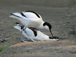 Image result for avocet