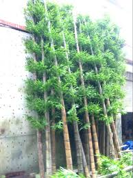 outdoor bamboo plants outdoor bamboo plants why is my plant turning yellow home depot outside care outdoor bamboo plants