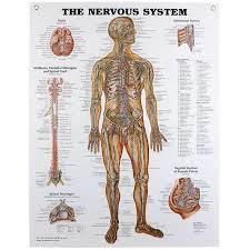 Back Nerve Chart Nervous System Chart