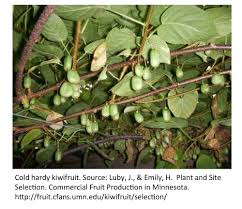 however minnesota gardeners can get in on the action as well the practice of growing kiwi in minnesota has been around since university of minnesota s