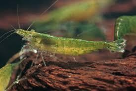Resultado de imagen de green jade shrimp
