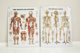Laminated Anatomical Charts Pair Of Vintage Laminated Anatomical Charts Skeletal System And Muscular System