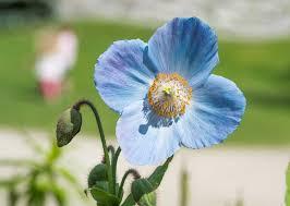 garden flowers. blue flowers garden p