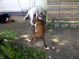 pitbull terrier fight. Simple Pitbull Pitbull Fighting Bullterrier Inside Pitbull Terrier Fight O