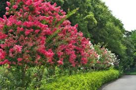 Crape Myrtle Colors Chart Crepe Myrtles For Zone 6 Will Crepe Myrtle Grow In Zone 6