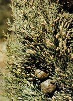 Cupressacee/Taxacee — ARPA Veneto