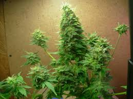 aerogarden weed harvest. aerogarden marijuana re mago texas style with aero garden weed beautiful harvest n
