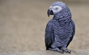 African Grey Parrot Bird HD Wallpaper - FreeHDWalls | African grey parrot,  Parrot, African grey