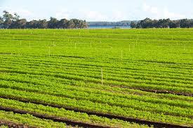 p12 3267 carrots irrigation myalup jpg