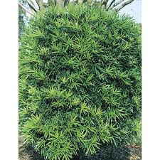 2-Gallon Podocarpus Screening Tree (L8348)
