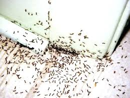 home remes for ants home remes for small ants in kitchen medium size of kitchen infestation home remes for ants