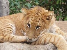 cute baby liger. Modren Liger 127 Best LIGER Images On Pinterest  Wild Animals Big Cats And Feral In Cute Baby Liger E