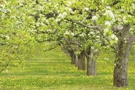 Fruit Tree Pollination Chart Cross Pollination Pear Trees Which Pear Trees Pollinate
